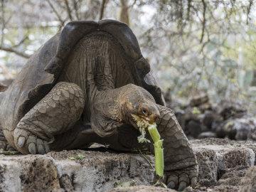 Recuperan en Galápagos especie de tortuga considerada extinta hace 150 años
