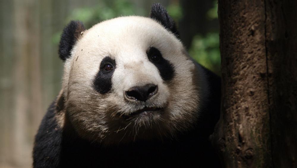 El hogar del panda gigante es mas pobre ahora que hace treinta años