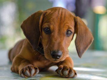 Imagen de archivo de un perro raza Teckel
