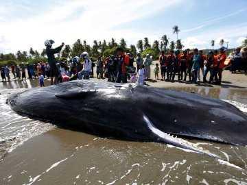 Se salvar seis de los diez cachalotes varados en una playa indonesa