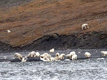 Los osos polares de Wrangel deborando la ballena