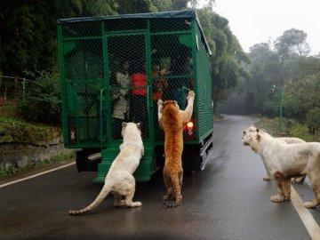 En este Zoo son los humanos los que están encerrados y los animales en libertad