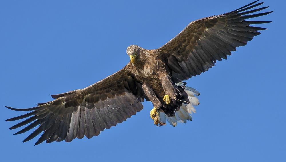 Águila con las alas abiertas