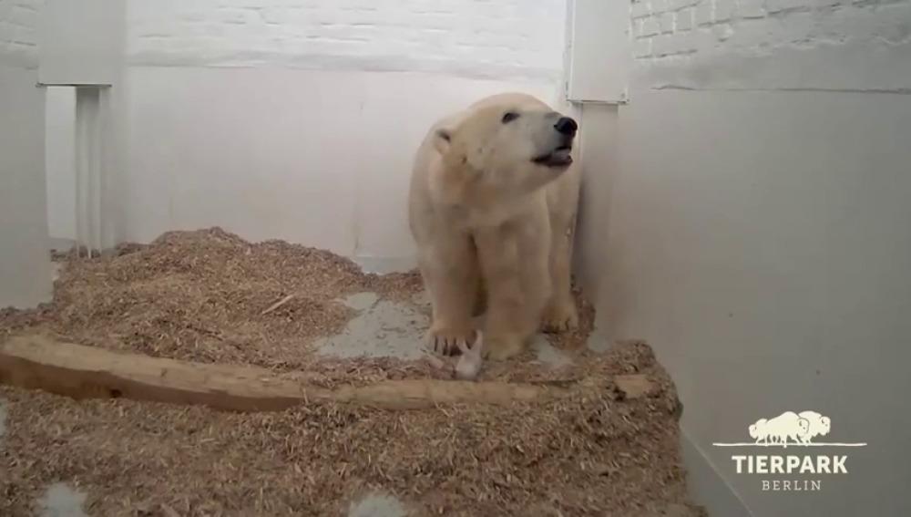 Muere la osezna polar que nació hace 26 días en un zoo de Berlín