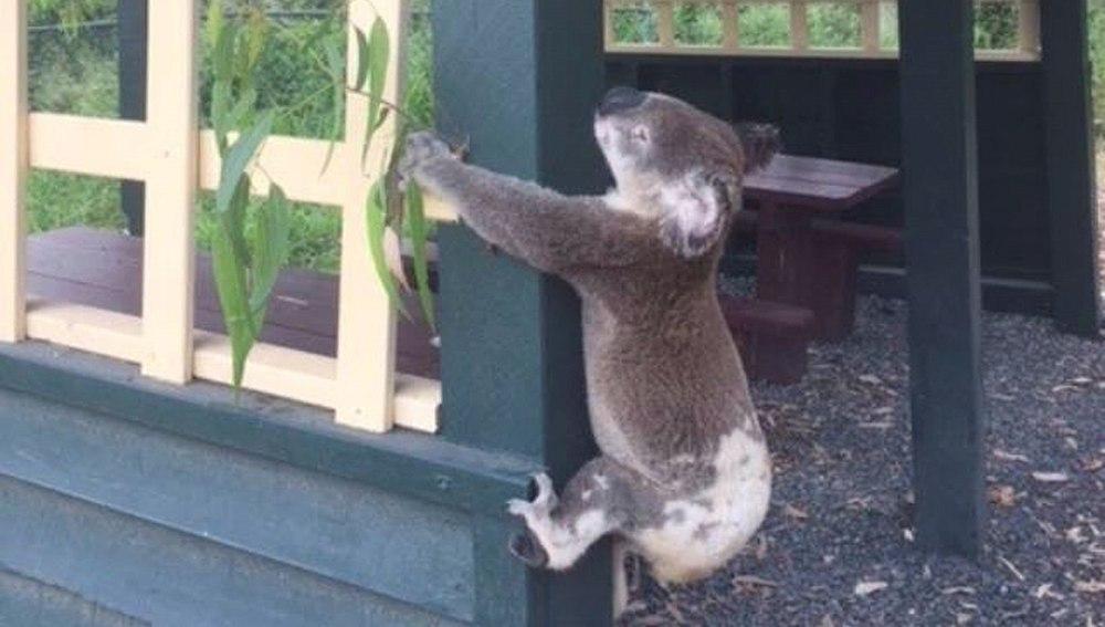 Las autoridades australianas investigan la muerte de un koala que apareció atornillado a un poste