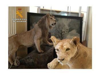 El Seprona encuentra dos leones disecados en La Rioja que iban a ser vendidos en Internet