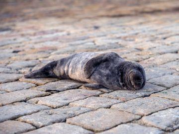 Una foca deambula por la bahía de Santander