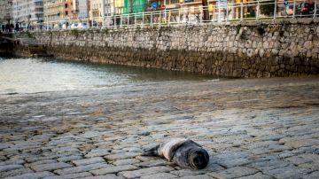 Una pequeña foca deambula desde hace varios días por la bahía de Santander