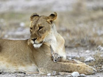 Una leona cuidando de una cría de antílope