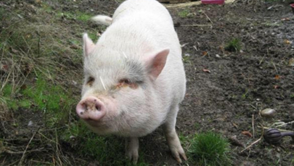 Imagen de Molly, el cerdo que adoptaron y terminaron comiendo