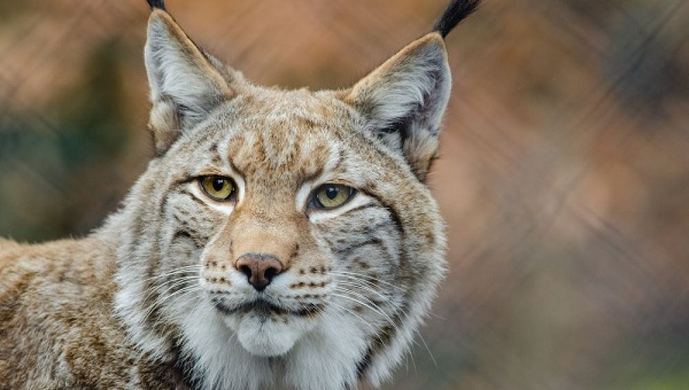 Foto lince