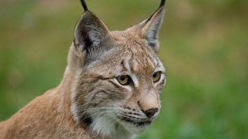 La caza ilegal amenaza también a los linces europeos