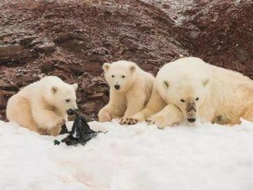 Las consecuencias de la contaminación en el Ártico: osos polares juegan con residuos plásticos