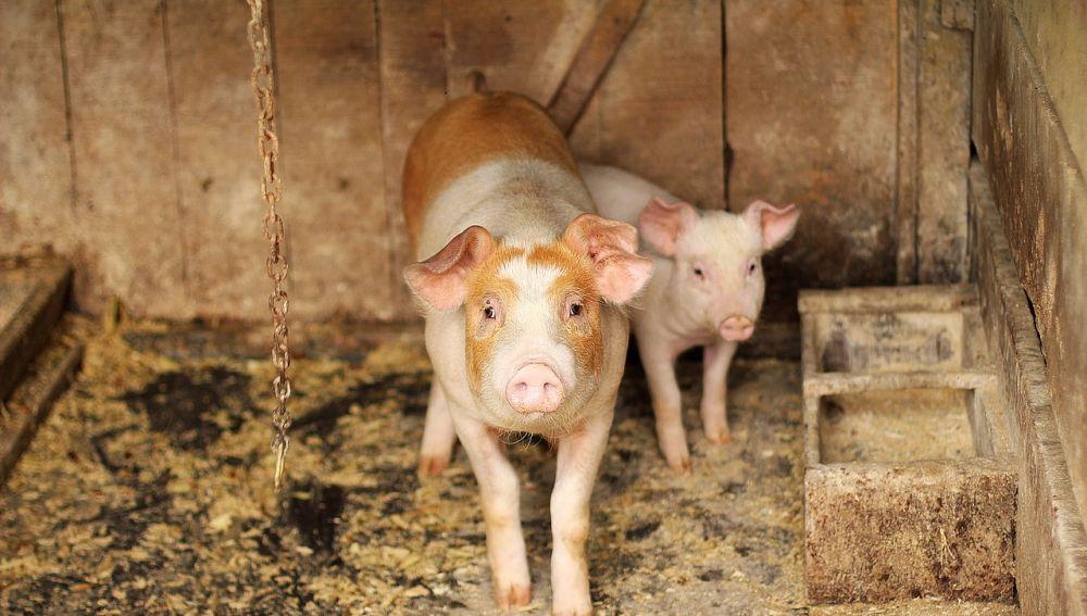 Trasplantan con éxito en cerdos pulmones creados en el laboratorio
