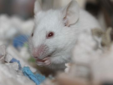 Ratón en un laboratorio