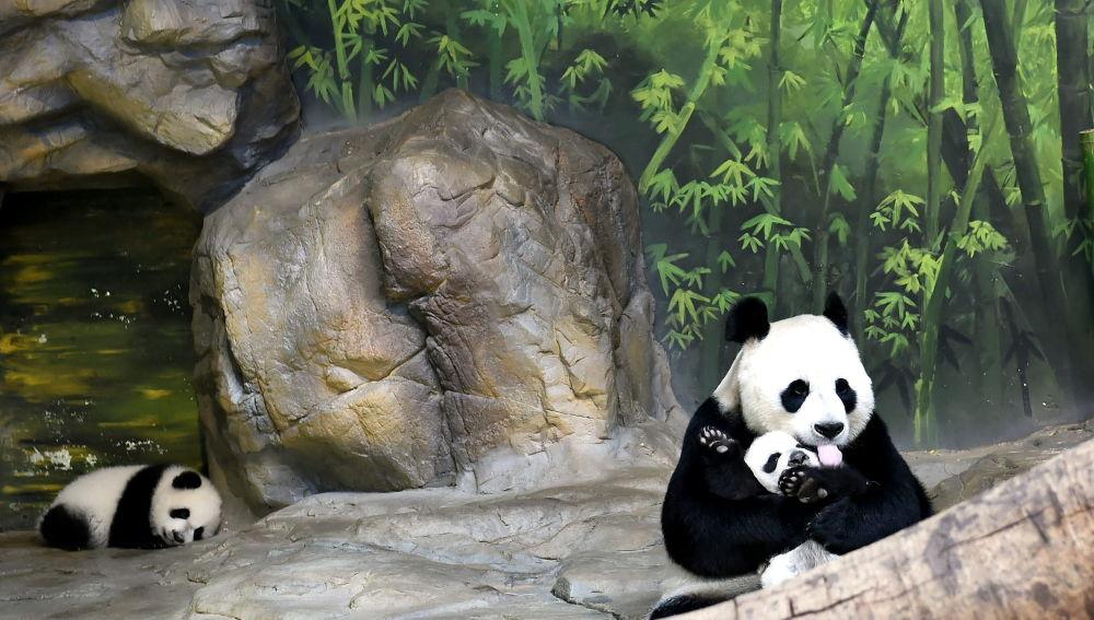 China abrirá su primera parque nacional de osos panda