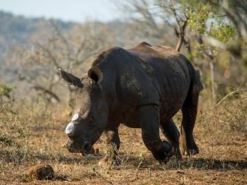 Descuernan a los rinocerontes africanos para protegerlos de la caza furtiva