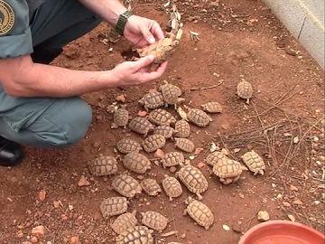 Algunas de las 1.200 tortugas intervenidas por la Guardia Civil