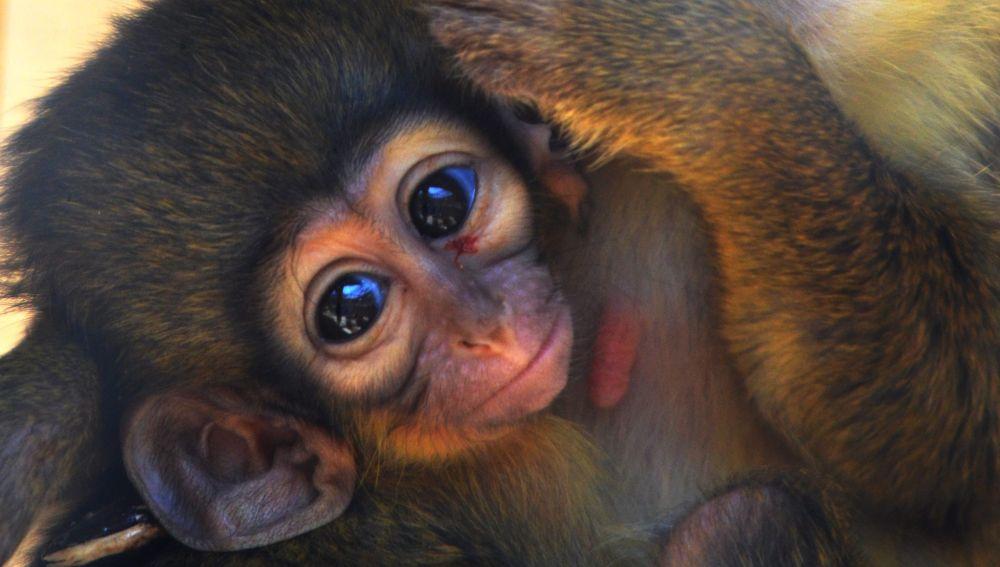 Nace el primate más pequeño africano en Bioparc Valencia