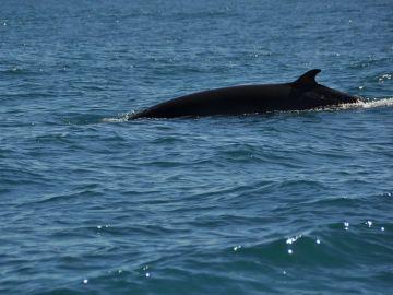 Japón captura 177 ballenas en el Pacífico durante la temporada de pesca