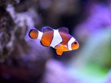 Así logra el pez payaso sus colores