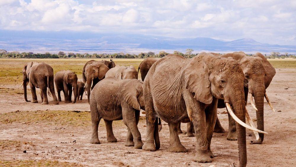 Casi un centenar de elefantes asesinados por cazadores furtivos en Botsuana