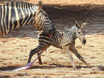 Los cuidadores de BIOPARC Valencia salvan a una cebra recién nacida tras caer a la ría