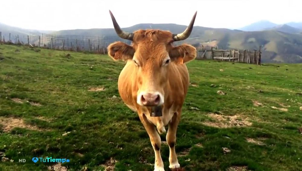 Las vacas autóctonas están en peligro de extinción por su bajo consumo