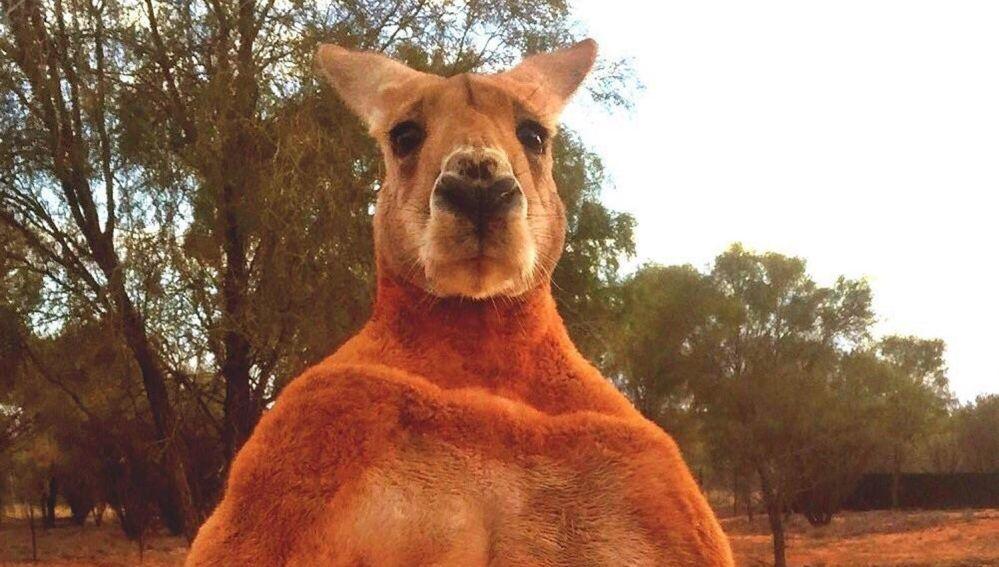Roger, el canguro más musculado de Australia
