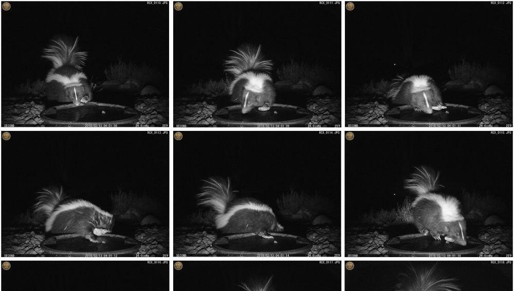 Primeras fotografías de una mofeta utilizando una piedra como una herramienta