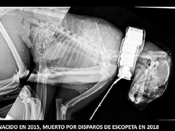 Imagen del lince ibérico muerto por disparos de escopeta