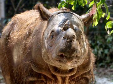 Muere el último rinoceronte de Sumatra de Malasia