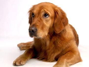 Por que tu perro te pone ojitos asi se comunica mejor contigo