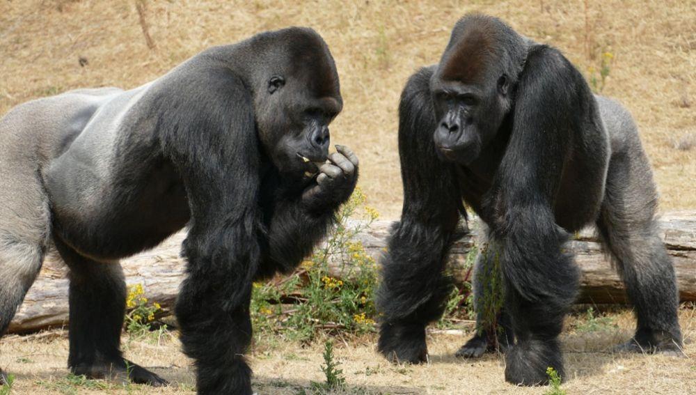 Foto de archivo de unos gorilas