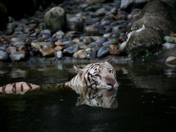 La India duplica los ejemplares de tigre, con casi 3.000 ejemplares vivos