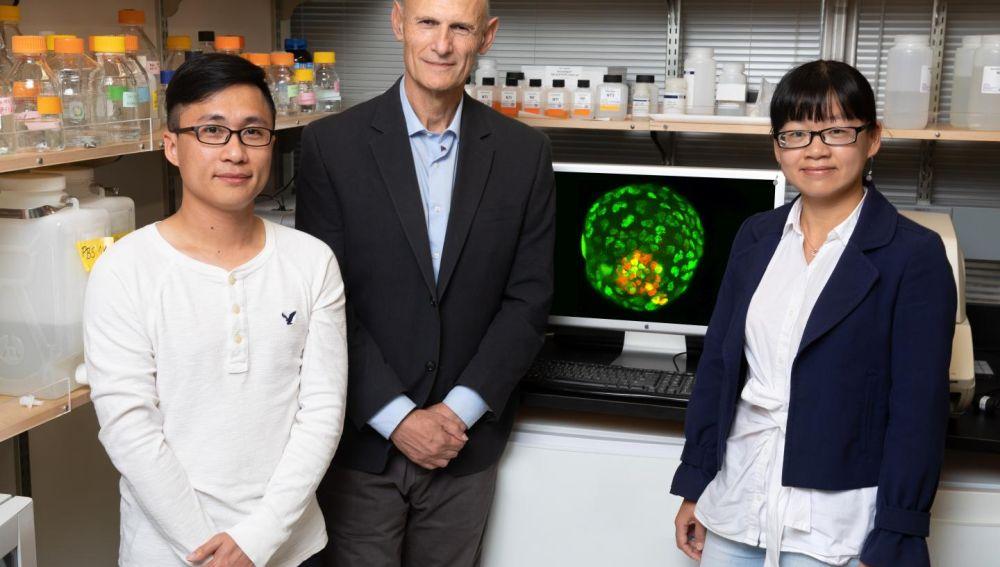 Logran crear embriones artificiales con una sola celula de oreja de raton