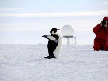 Pingüino emperador fotografiado