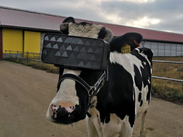 Ponen gafas virtuales a las vacas