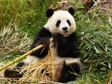 El ultimo oso panda de Europa vivio en la peninsula iberica
