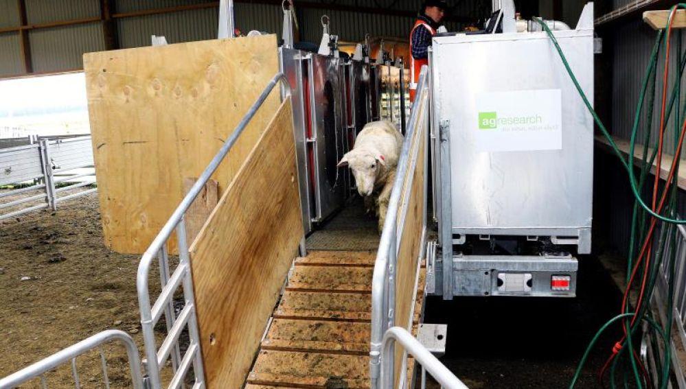 Primeras ovejas 'bajas en emisiones de metano', en Nueva Zelanda