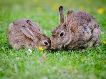 Dos conejos europeos