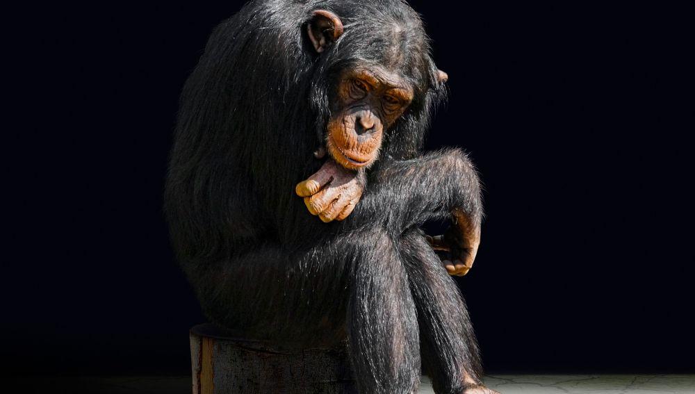 Marcados de por vida la otra cara de los chimpances actores y mascotas