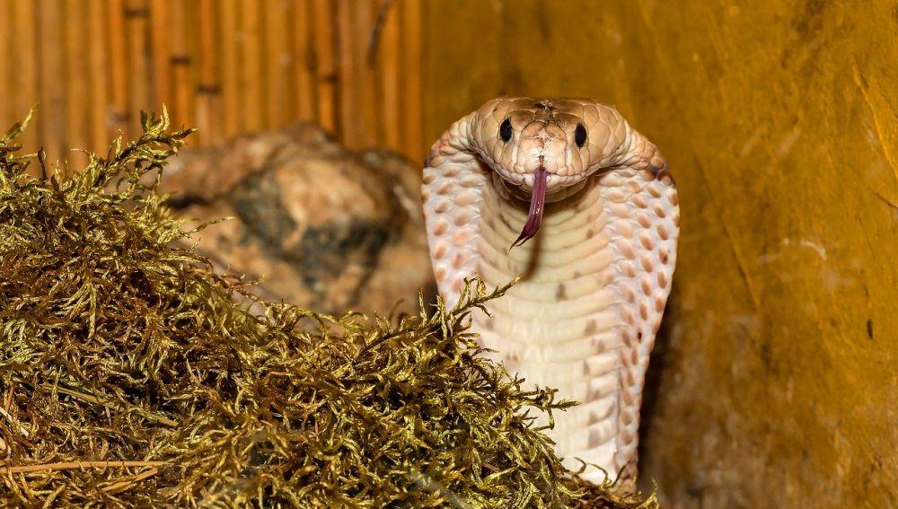 Un ejemplar de serpiente cobra