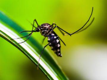 Uno de los mosquitos responsables de transmitir al parásito de la malaria