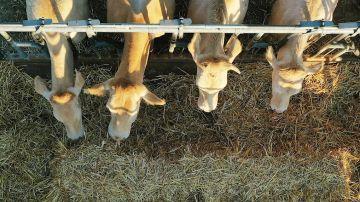 Imagen tomada desde un dron donde varias vacas se alimentan de paja en un prado de la localidad de Erdozain