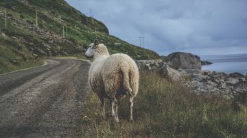 Adelantar animales en carretera
