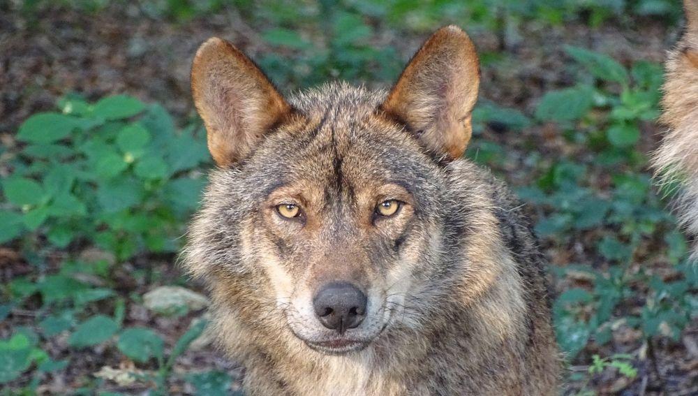 Prohibida la caza del lobo ibérico